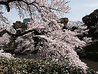 Cherry_blossoms_201646