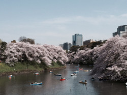 Cherry_blossoms_201646